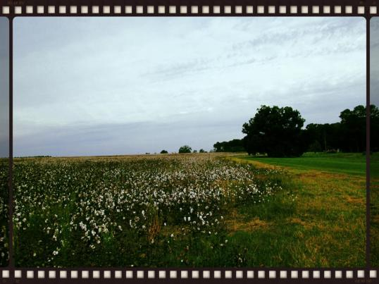Cotton Field 2 (Tree)
