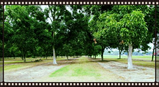 Pecan Grove 2
